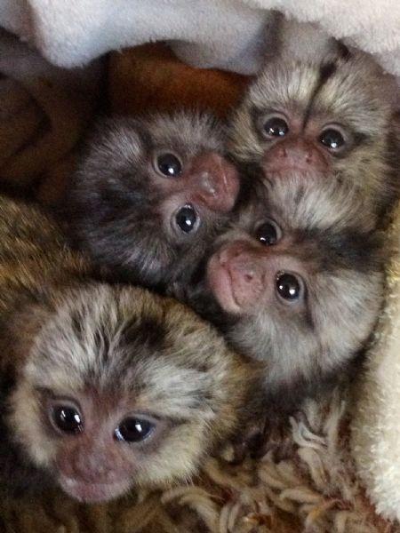 Pet Monkeys For Sale - Primates For Sales