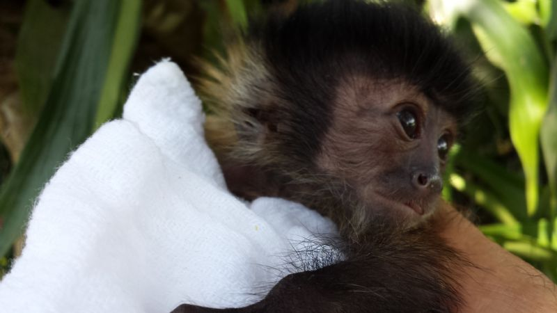 Baby Capuchins Welcome To Capuchin World Your Capuchin
