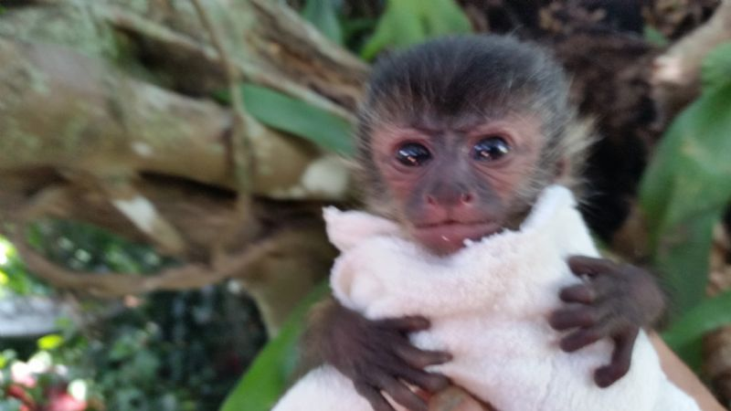 Baby Capuchins Welcome To Capuchin World Your Capuchin
