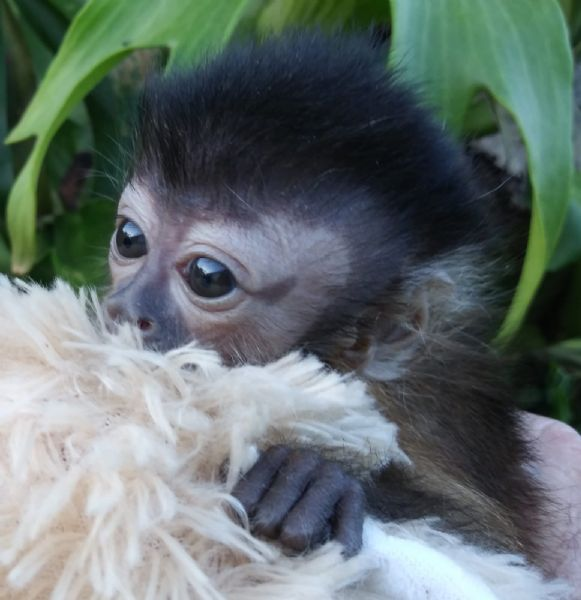 BABY CAPUCHINS! WELCOME TO CAPUCHIN WORLD! YOUR CAPUCHIN SPECIALISTS! 4b98ddc6141e