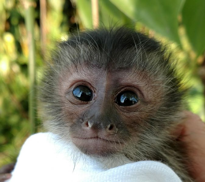 Pet monkeys for sale primates for sales baby capuchins welcome to capuchin world your capuchin specialists voltagebd Choice Image