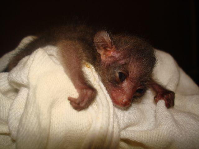 Bush Baby Monkeys For Sale