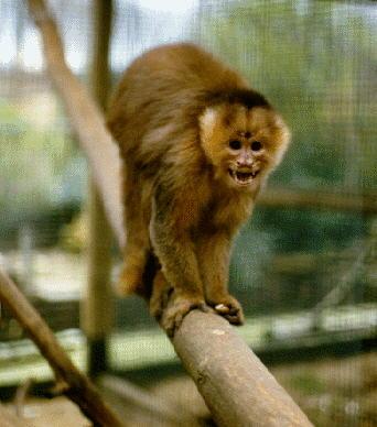 Albino Pygmy Marmoset Monkeys