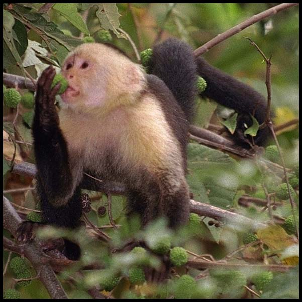 White Faced Capuchin Facts White Faced Capuchin