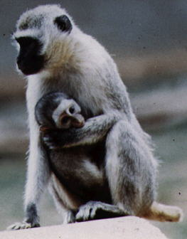 most commonly kept primate species monkeys kept as pets