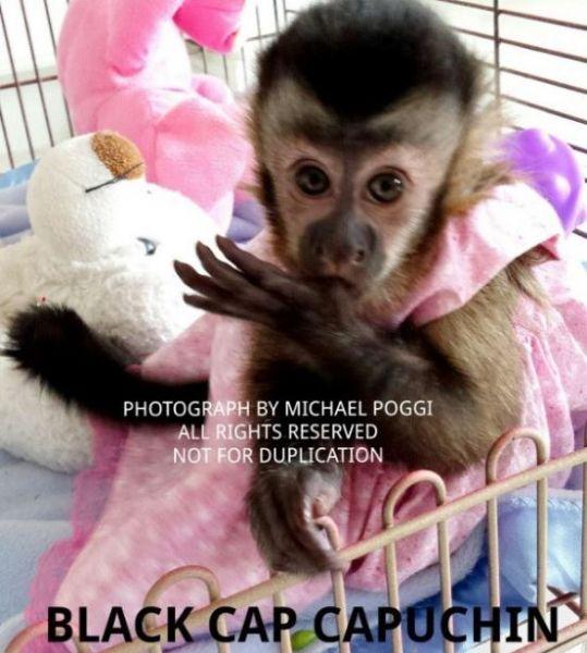 Pet Monkeys For Sale Primates For Sales